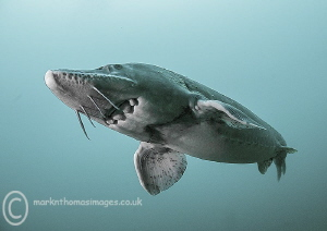 Sturgeon. by Mark Thomas 